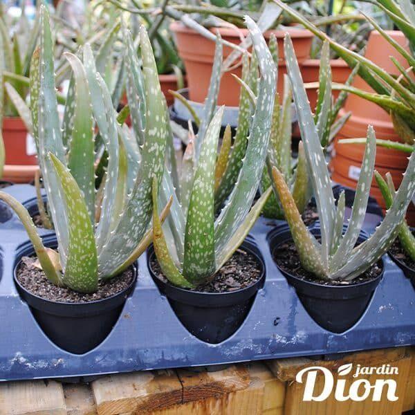 Aloes 4 pouces (5400D)