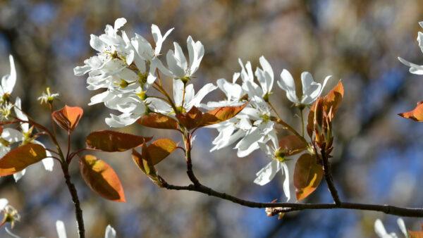 Amelanchier laevis 'Spring flurry' – Floraison
