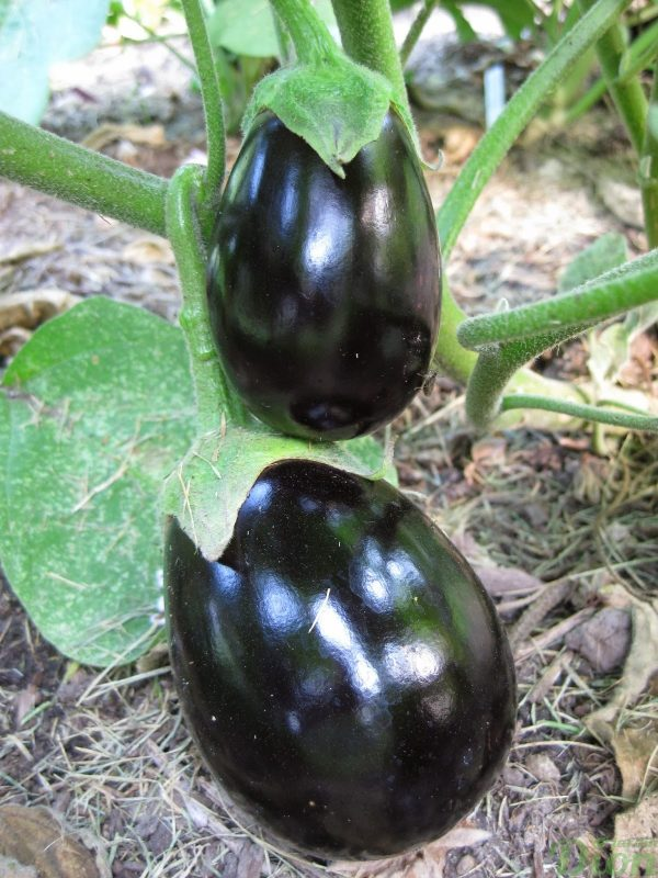Aubergine-pot-black.jpg