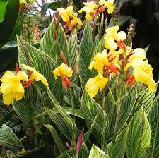 Jardindion pinus strobus pendula for Vendita piante esotiche
