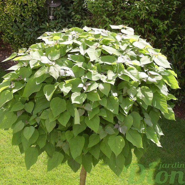 Catalpa bigonoides nana