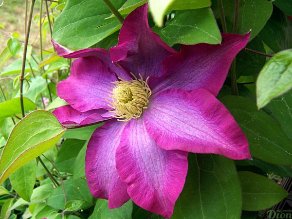 Clematis 'Pink Champagne'