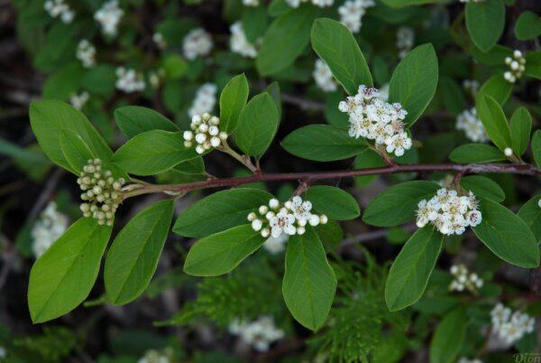 Cotoneaster acutifolia