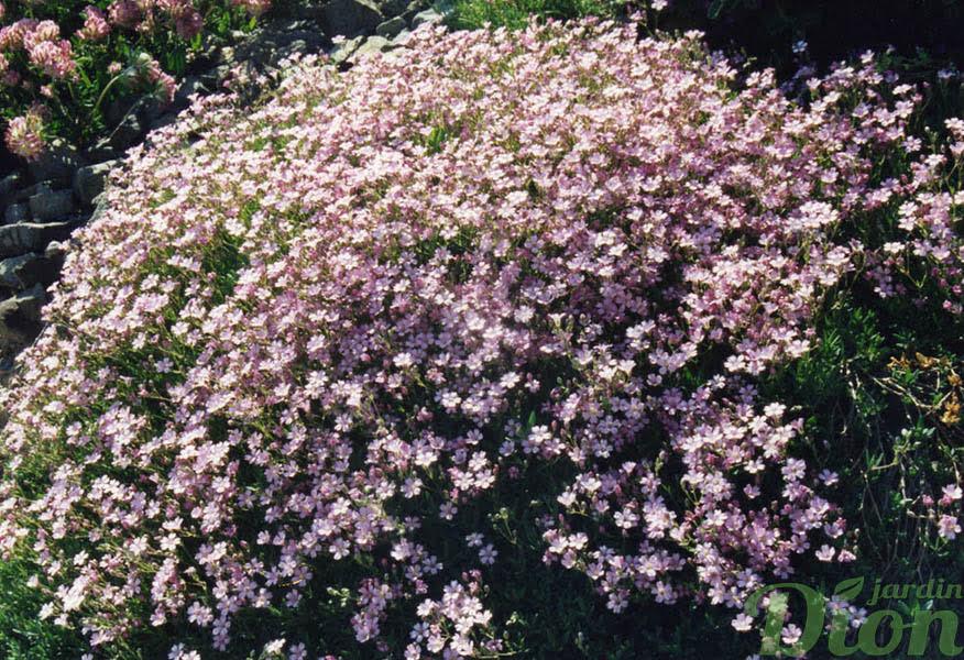 Gypsophila repens jardin dion for Vivace retombante
