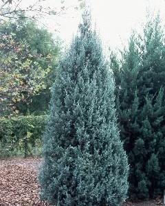 Juniperus-blue-heaven-genevrier-blue-heaven.jpg