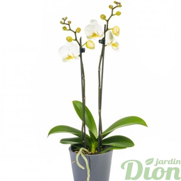 orchidée-phalaenopsis-blanche-PL-0587 – Orchidée
