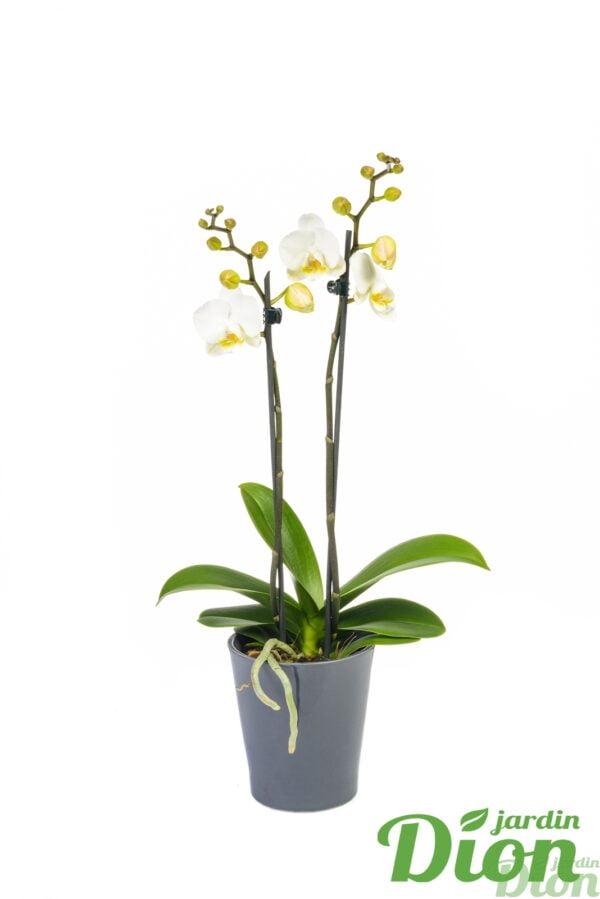 orchid e jardin dion. Black Bedroom Furniture Sets. Home Design Ideas