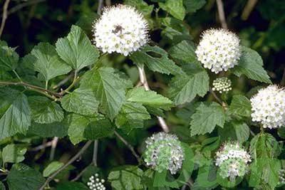 Physocarpus opulifolius nanus – Fleurs