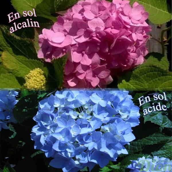 Hydrangea macrophylla_Endless Summer'