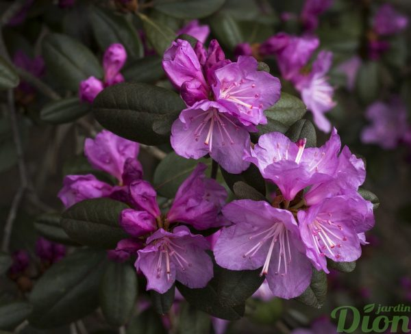 Rhododendron 'PJM compact'