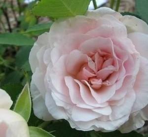 Rosa-morden-blush-rosier-morden-blush.jpg