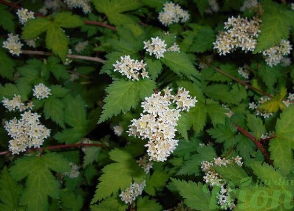 Stephanandra insisa crispa – Floraison