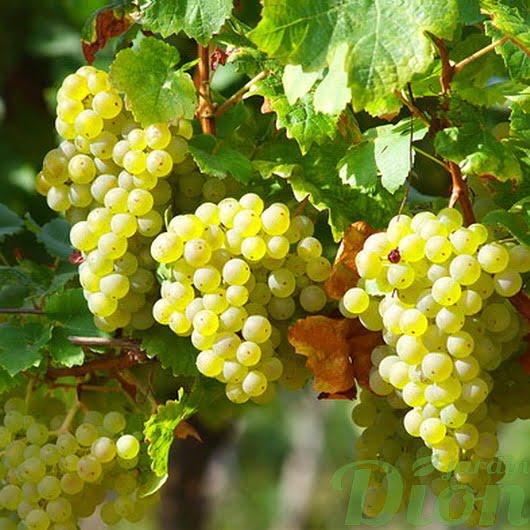 Vigne Himrod blanc