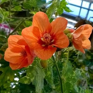 Abutilon pictum Thompsoni