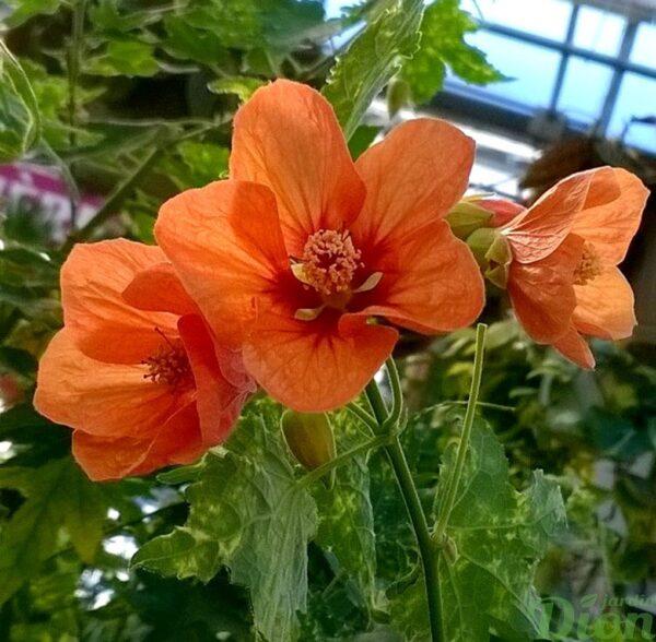 abutilon-pictum-thompsoni-erable de maison-fleur orange-panaché-2