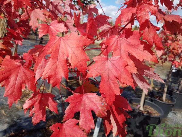 Acer freemanii 'Autumne blaze'