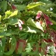 Disamares (semences)
