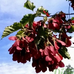 acer-ginnala-ruby-slippers-érable de l'amur-fruits-disamares