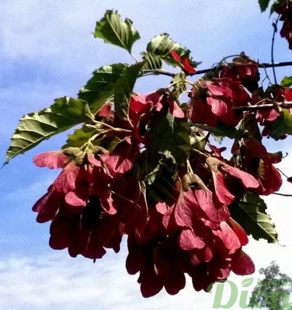acer-ginnala-ruby-slippers-érable de l'amur-fruits-disamares