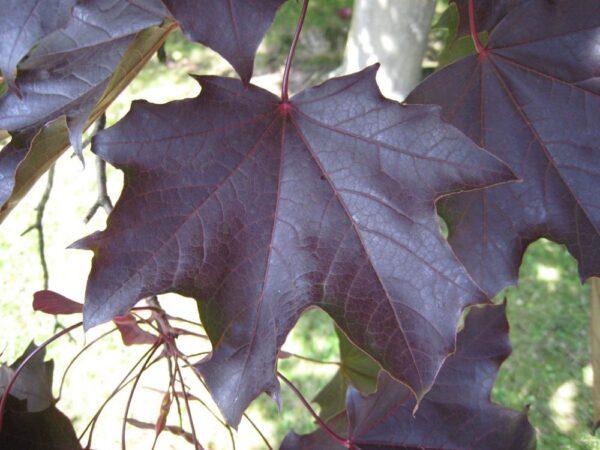 Acer platanoides 'Crimson king»