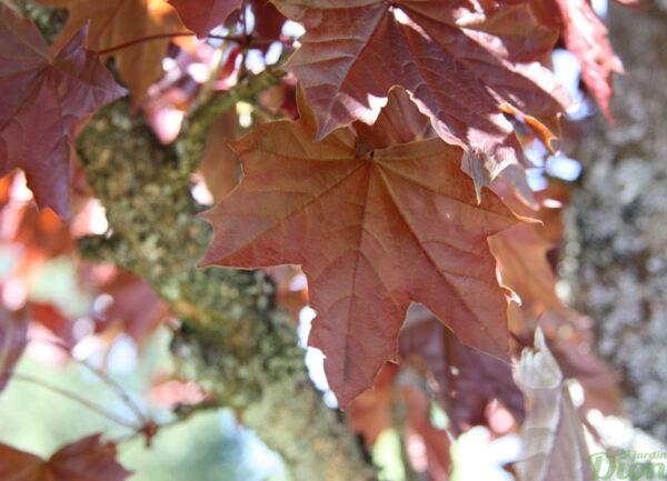 Acer platanoides 'Deborah'