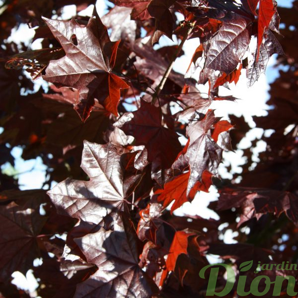 Acer platanoides 'Royal red »