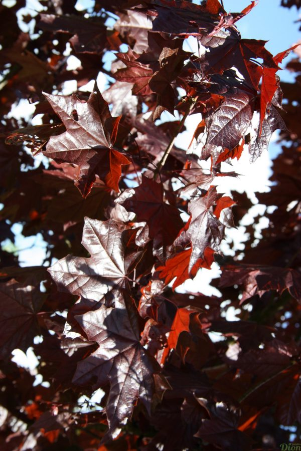 Acer platanoides 'Royal red»
