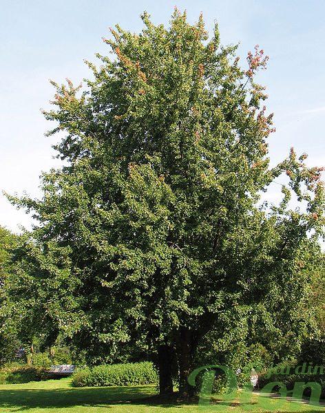Arbre a croissance rapide arbre croissance rapide pour cacher un immeuble vigne treillis murs - Arbre a croissance rapide et feuillage persistant ...
