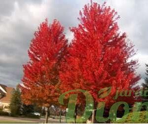 acer.autumn-fantasy.erable.autumn-fantasy.jpg