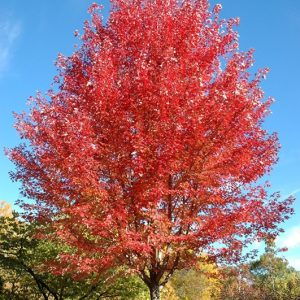 acer.autumn.blaze_.erable.autumn-blaze.jpg