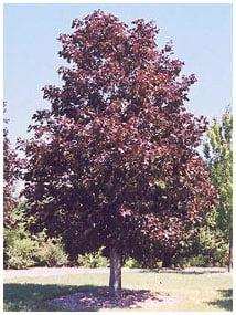 acer.platanoides.royal_.red_.erable.de_.norvege.royal_.red.jpg
