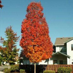 acer.rubrum.armstrong.erable.rouge_.armstrong.jpg