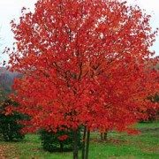 acer.rubrum.red-sunset.erable.rouge_.red-sunset-180×180