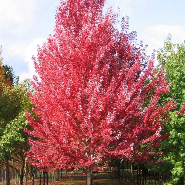 acer.rubrum.redpoint.erable.rouge_.redpoint-600×600
