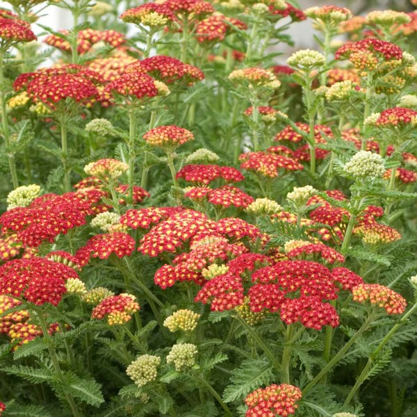 achillea-seduction-strawberry.jpg