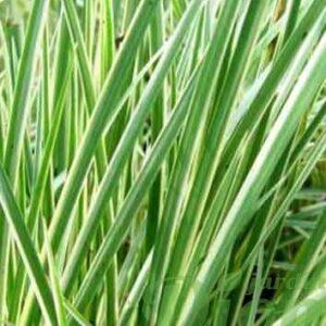 acorus-gramineus-variegatus.jpg