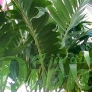 adonidia-merrillii-palmier-palmier de noel-feuillage