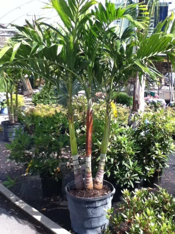adonidia-palmier-palmier-de-noel.jpg