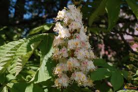 aesculus.hippocatanum.marronnier.de-linde.jpg