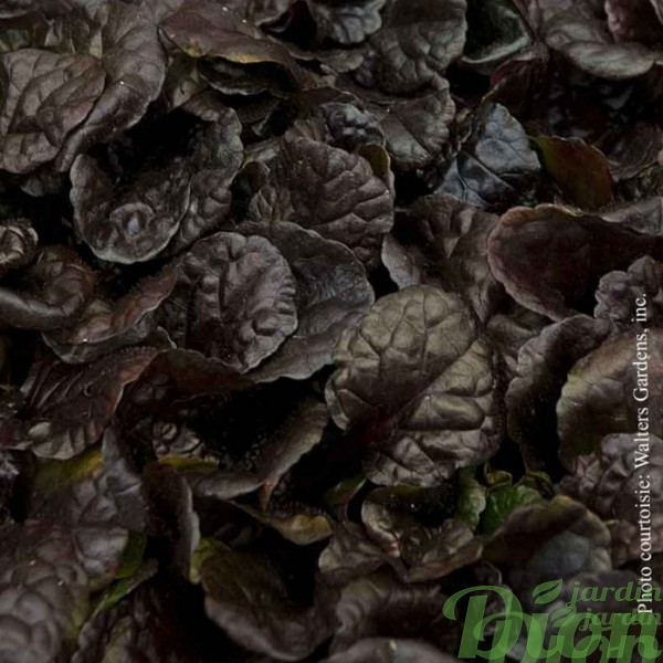 ajuga-black scallop