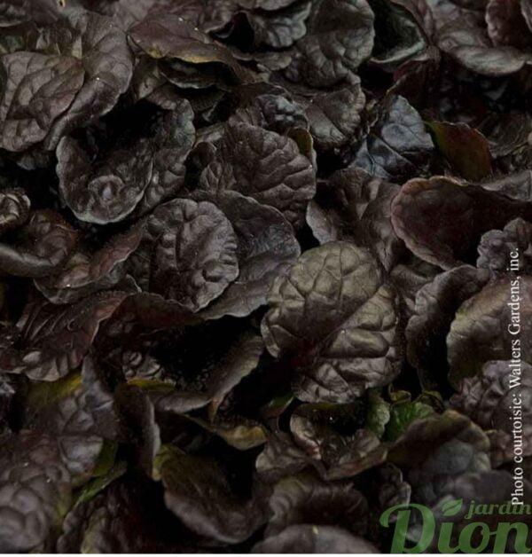 ajuga-black scallop