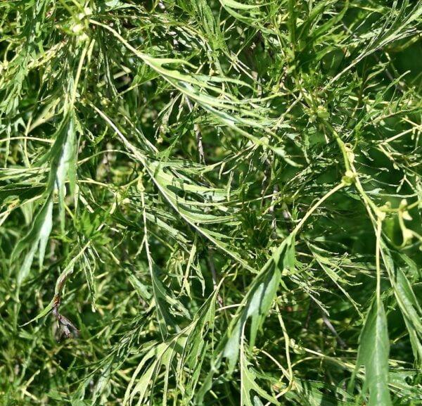 Alnus Glutinosa 'Imperialis' – Feuillage