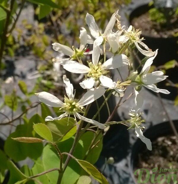amelanchier-grandiflora-amélanchier à grandes fleurs-automn brillance-floraison