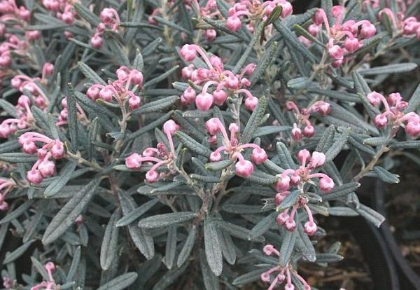 andromeda-polifolia-blue-ice-andromede.jpg