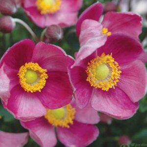 anemone-pretty-lady-diana.jpg