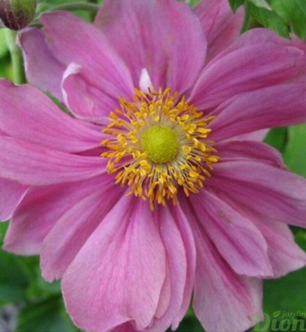 anemone-pretty-lady-emily.jpg