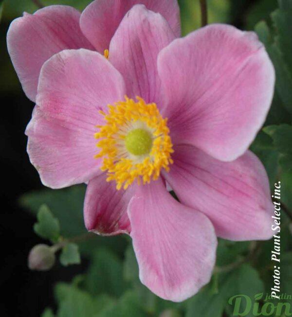 anemone-september-charm.jpg