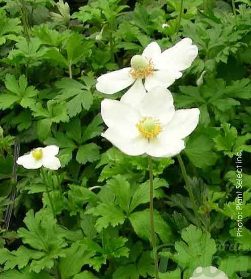 anemone-sylvestris.jpg