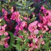angelonia-angustifolia-angelonie-fleurs-annuelles-soleil-angelface pink