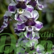 angelonia-angustifolia-angelonie-fleurs-annuelles-soleil-angle mist